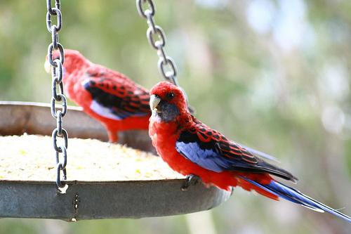 Scenic world, katoomba, parrots