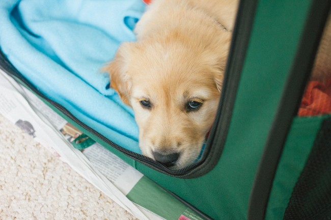 scout-golden-retriever-puppy-12
