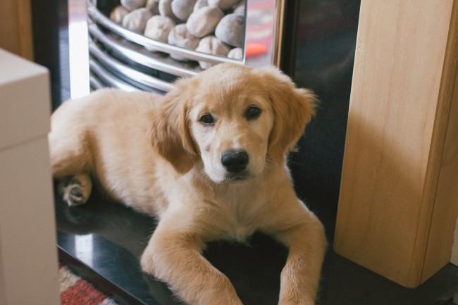 sleepy-golden-retriever-puppy