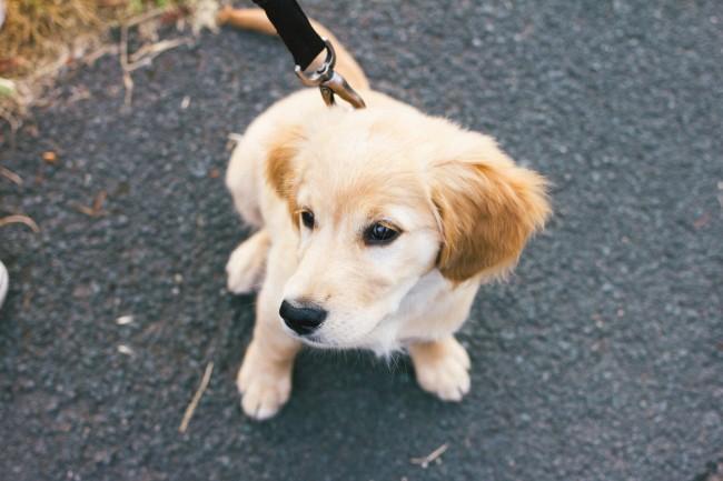 walking-golden-retriever-puppy-2
