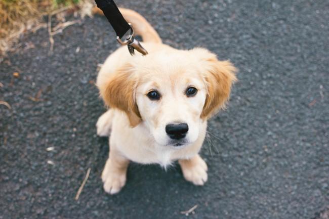 walking-golden-retriever-puppy-3