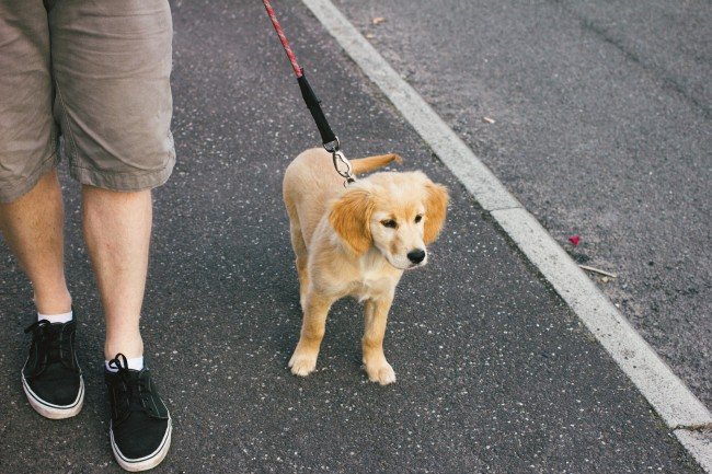 walking-golden-retriever-puppy